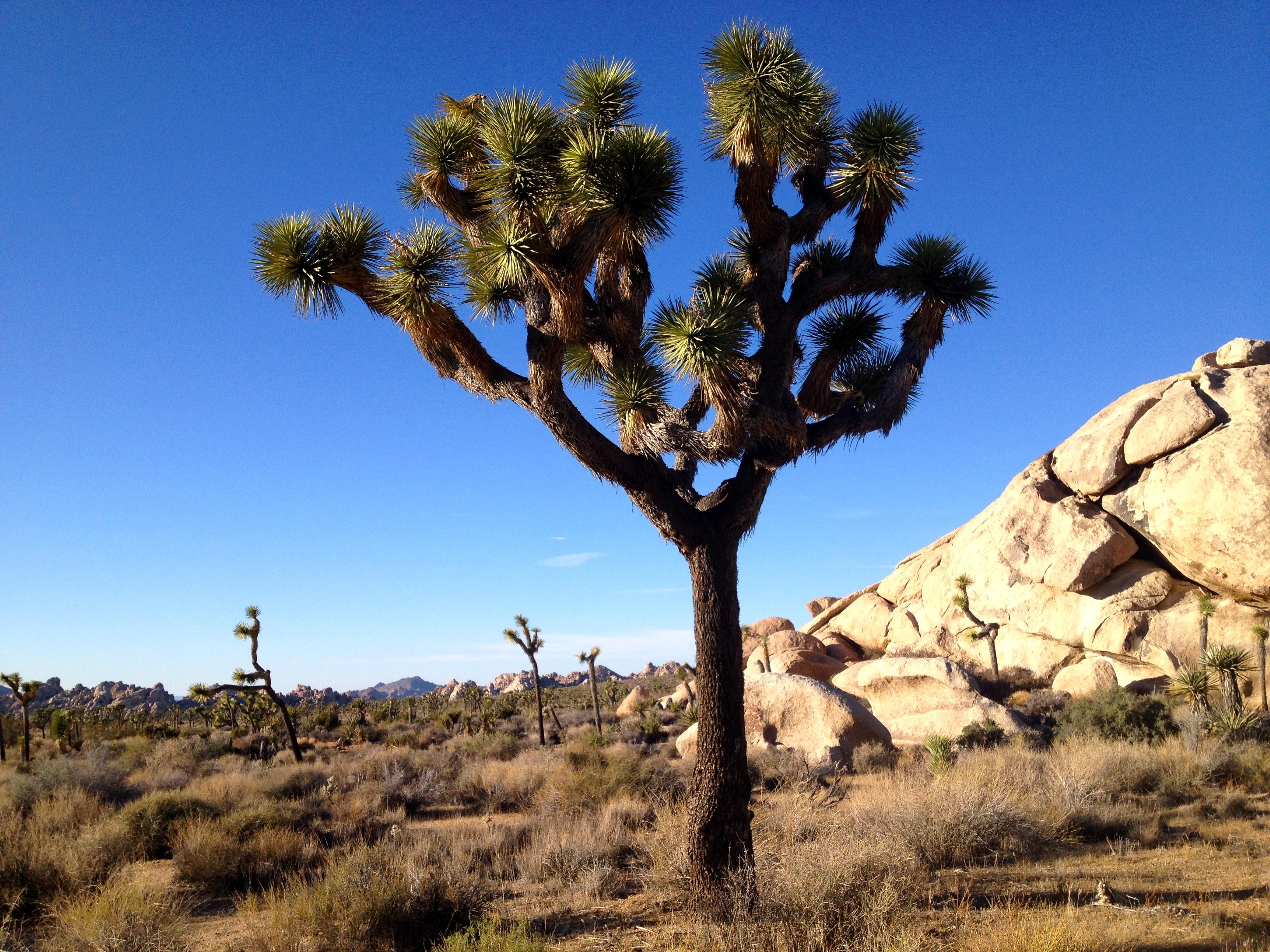 A land of Joshua Trees
